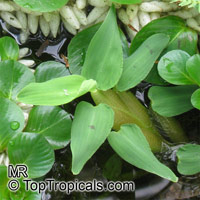 Hygroryza aristata, Hygroryza  Click to see full-size image