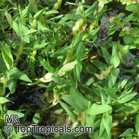 Hygroryza aristata, HygroryzaClick to see full-size image