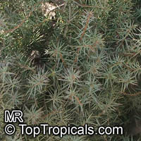 Juniperus sp., Juniper
