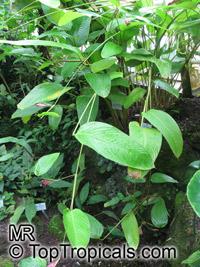Marantochloa mannii, Calathea mannii, Marantochloa  Click to see full-size image