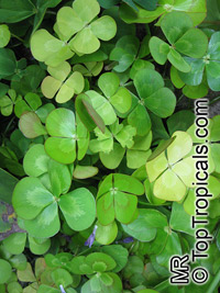 Marsilea mutica, Waterclover
