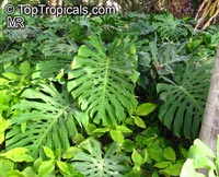 Monstera deliciosa, Philodendron pertusum, Swiss Cheese Plant, Fruit Salad Plant, Ceriman
