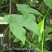 Montrichardia arborescens, Arum arborescens , Mocou Mocou  Click to see full-size image