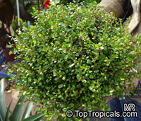 Muehlenbeckia complexa, Maidenhair VineClick to see full-size image