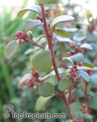 Myrsine africana, Cape Myrtle, African Boxwood  Click to see full-size image