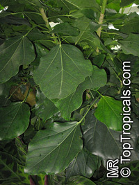 Oreopanax capitatus, Picon Tree  Click to see full-size image
