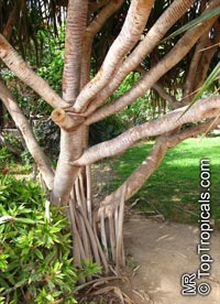 Pandanus utilis, Screw Pine  Click to see full-size image