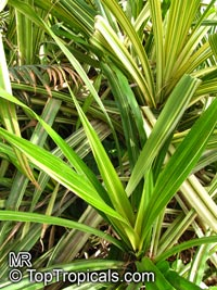 Pandanus veitchii, Dwarf Variegated Screw Pine  Click to see full-size image