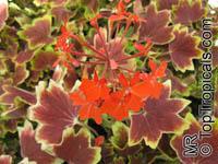 Pelargonium Vancouver Centennial, Stellar GeraniumClick to see full-size image
