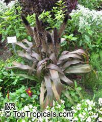 Pennisetum sp., Pennisetum  Click to see full-size image