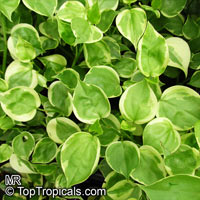 Peperomia scandens, Acrocarpidium scandens , False Philodendron, Radiator plant, Hanging Peperomia  Click to see full-size image