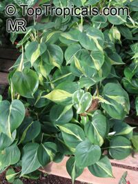Philodendron scandens, Philodendron cordatum, Philodendron hederaceum, Heart Leaf Philodendron  Click to see full-size image