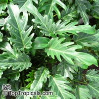Philodendron xanadu, Philodendron  Click to see full-size image
