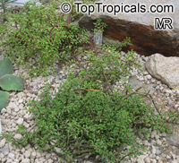 Pilea nipensis, Pilea  Click to see full-size image