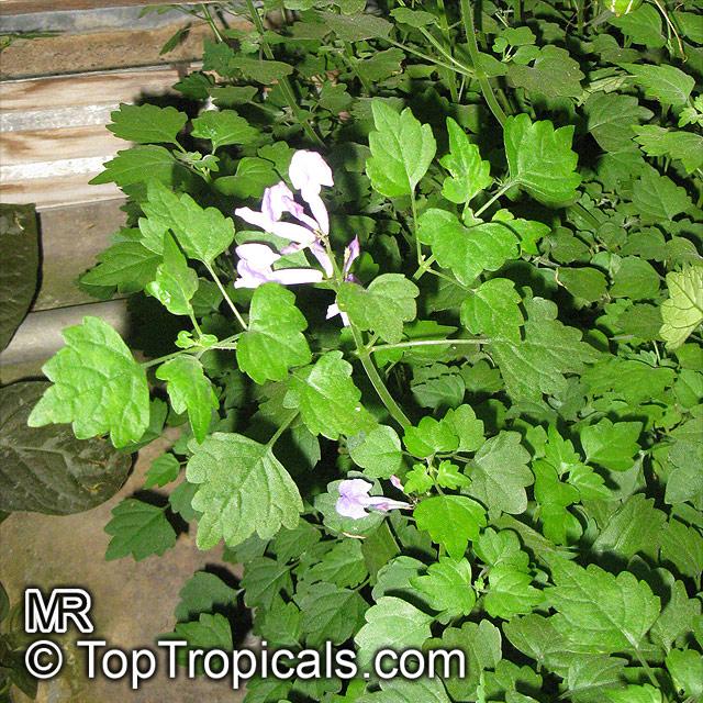 Plectranthus ernstii Bonsai Mint  YouTube