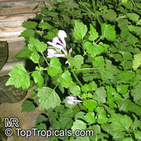 Plectranthus sp., Plectranthus  Click to see full-size image