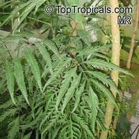Polyscias sp., Panax, Aralia  Click to see full-size image