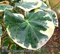 Polyscias scutellaria, Polyscias balfouriana, Polyscias pinnata, Shield Aralia, Dinner Plate Aralia  Click to see full-size image