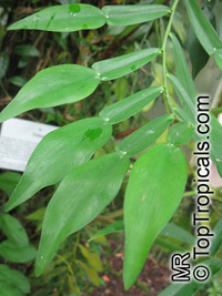 Pothos sp., Pothos  Click to see full-size image