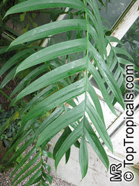 Rhaphidophora decursiva, Creeping PhilodendronClick to see full-size image