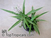 Sansevieria dooneri, Dwarf Sansevieria  Click to see full-size image
