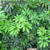 Schefflera arboricola, Abicola, Arboricola, Trinette, Hawaiian Umbrella Tree, Hawaiian Elf Schefflera  Click to see full-size image