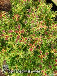 Solenostemon scutellarioides, Plectranthus scutellarioides, Coleus blumei verschaffeltii, Coleus scutellarioides, Coleus hybridus, Painted Nettle  Click to see full-size image