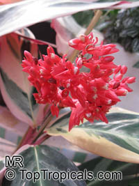 Stromanthe sp., Never-Never Plant  Click to see full-size image
