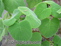 Tetradenia cordata, Madagascar Mint  Click to see full-size image