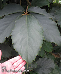 Tetrastigma voinierianum - Chestnut Vine  Click to see full-size image