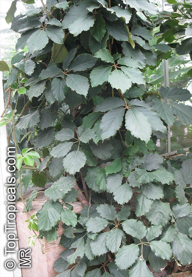 Veldt Grape Cissus Quadrangularis: Tetrastigma Voinierianum, Cissus Tetrastigma, Lizard Plant