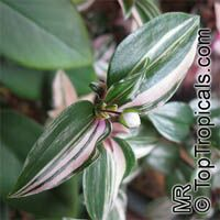 Tradescantia albiflora, Tradescantia fluminensis, Inch Plant, White-Flowered Wandering Jew  Click to see full-size image