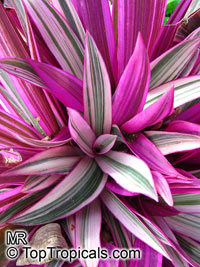 Tradescantia spathacea, Rhoeo spathacea, Tradescantia discolor, Boat lily, Rheo, Oyster plant, Moses-In-The-Boat  Click to see full-size image
