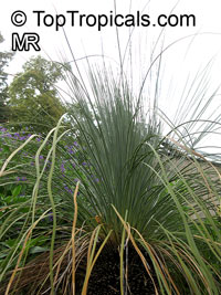Xanthorrhoea sp., Grass Tree  Click to see full-size image