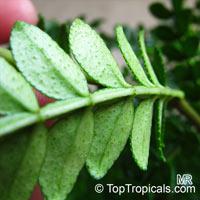 Zanthoxylum beecheyanum, Chinese Pepper TreeClick to see full-size image