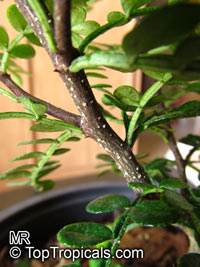 Zanthoxylum beecheyanum, Chinese Pepper Tree  Click to see full-size image