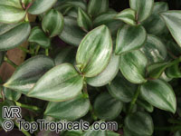 Zebrina pendula, Tradescantia zebrina, Wandering JewClick to see full-size image
