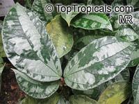 Pellionia acaulis, Elatostema latifolium var. acaule, Pellionia  Click to see full-size image