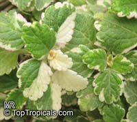 Plectranthus coleoides, White-Edged Swedish Ivy  Click to see full-size image