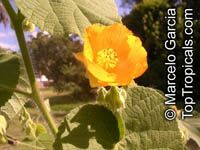 Abutilon grandifolium, Sida grandifolia, Hairy Indian Mallow, Hairy Abutilon  Click to see full-size image