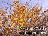 Acacia cavenia, Mimosa caven, Espino Cavan, Roman Cassie  Click to see full-size image