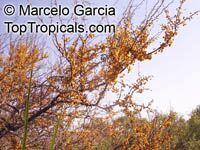 Acacia cavenia, Mimosa caven, Espino Cavan, Roman CassieClick to see full-size image