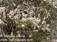 Aloysia gratissima, Lippia lycioides, Aloysia lycioides, Whitebrush, Beebrush  Click to see full-size image