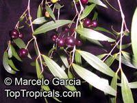 Blepharocalyx salicifolius, Eugenia salicifolia, Murta  Click to see full-size image
