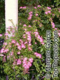 Calliandra selloi, Acacia selloi, Calliandra brevipes, Pink Powderpuff, Shuttlecock, Esponja, Esponjinha, Manduruva, Quebra-foice  Click to see full-size image