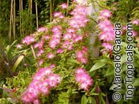 Calliandra selloi, Acacia selloi, Calliandra brevipes, Pink Powderpuff, Shuttlecock, Esponja, Esponjinha, Manduruva, Quebra-foiceClick to see full-size image