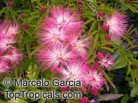 Calliandra eriophylla - seeds  Click to see full-size image