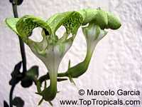 Ceropegia sandersonii, Parachute Plant, Umbrella Flower