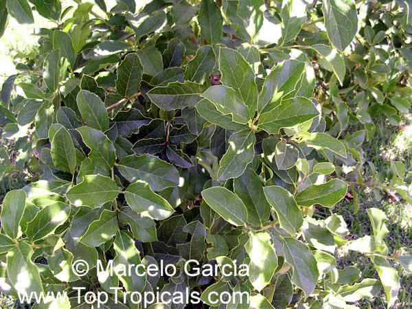 Citronella Congonha Gongonha Congona Naranjillo Toptropicals Com