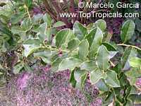 Citronella congonha (gongonha), Congoña, Naranjillo  Click to see full-size image